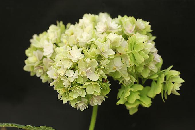 タマアジサイ 玉段花