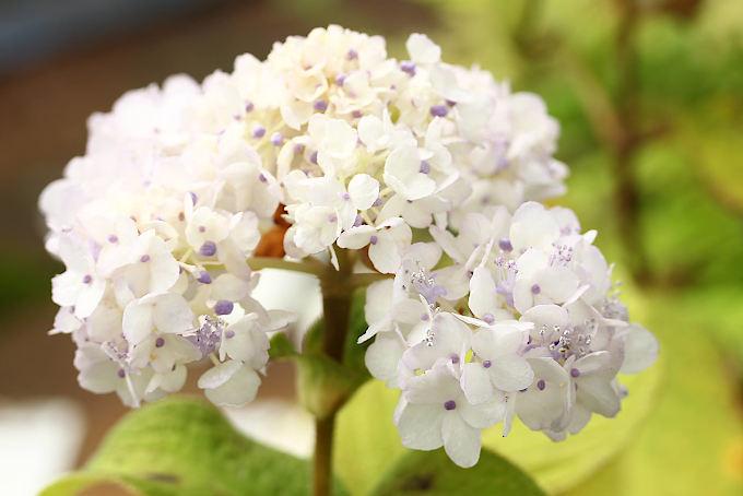 てまり咲タマアジサイ