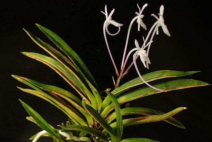 富貴蘭の独特な逸品。虫食いや日焼けではなくこういう芸を持つ珍品で、なかなか増えない希少種です。しかも、咲いたら赤花だったのでびっくりです。