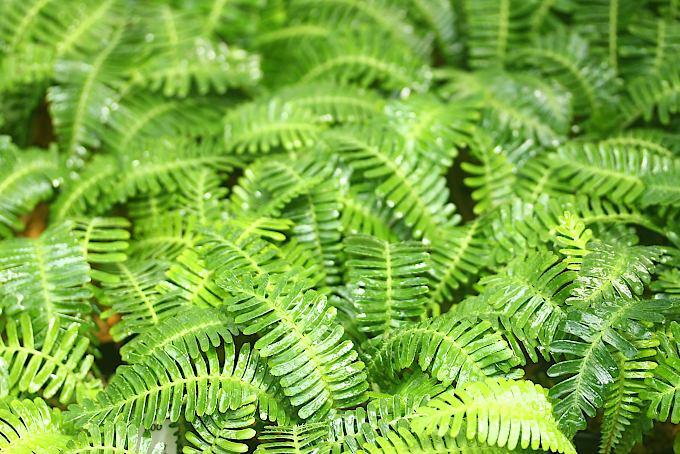 この時期涼し気な見た目のオサバグサ。まるでシダのような葉が魅力的です。