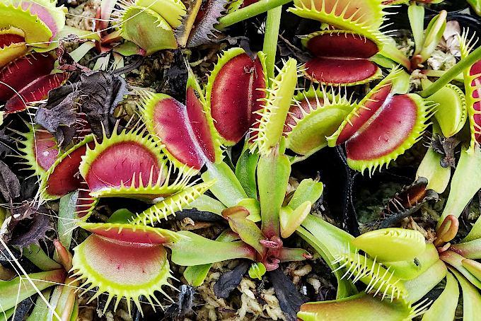 ハエトリグサ。これは捕虫葉の内側が赤くなるタイプ。レッド・グリーンでしょうか?